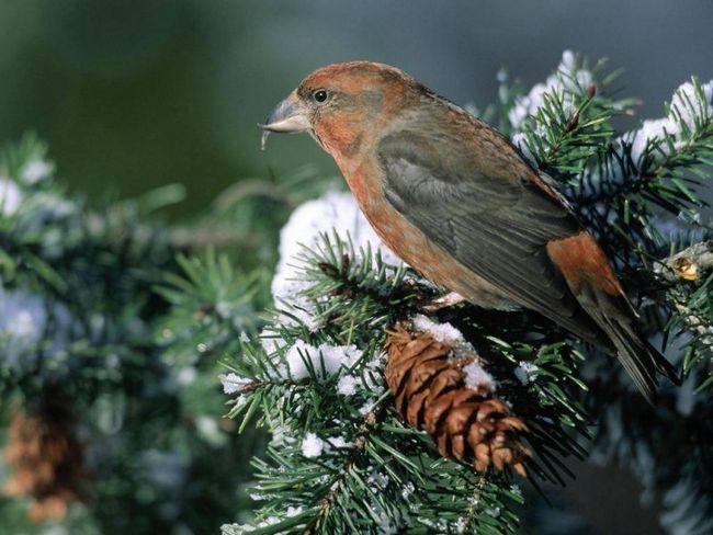 які птахи розмножуються взимку