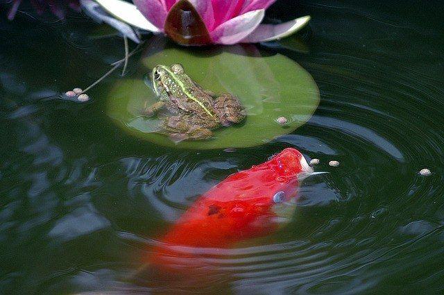 Рибки для ставка на дачі